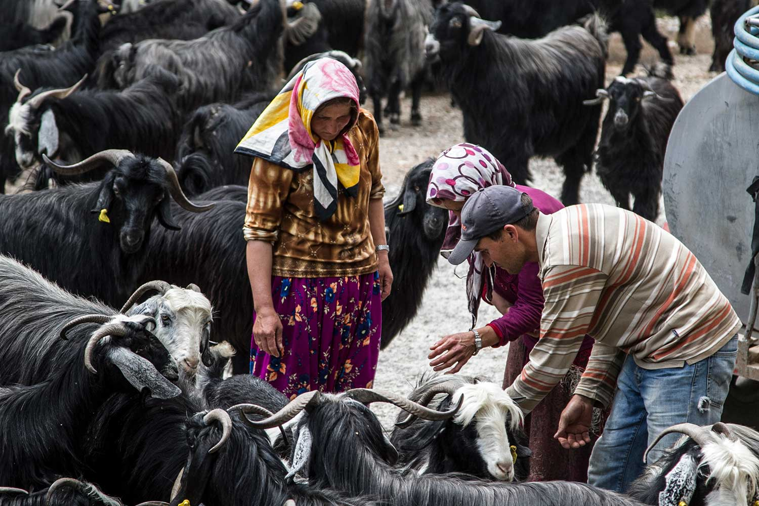 Sarikecili Mobile Pastoralist Family Meryem and Hülya Gök giving water to the goat flock through a water tank